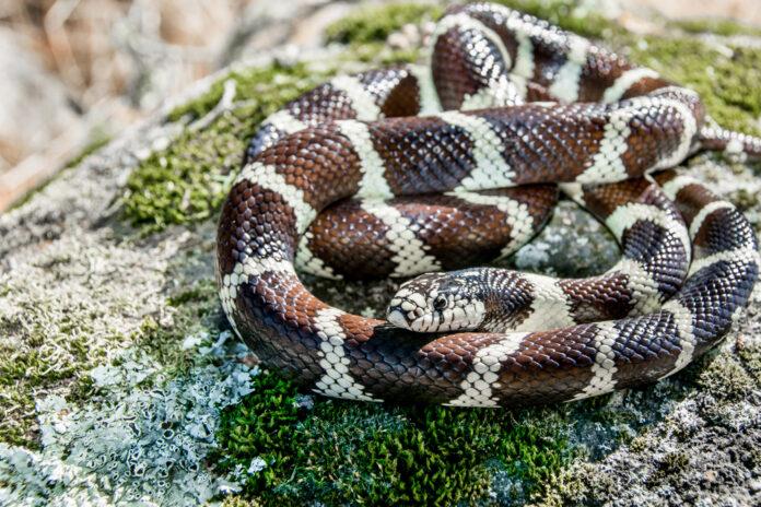 Дикая калифорнийская королевская змея (Lampropeltis getula californiae).