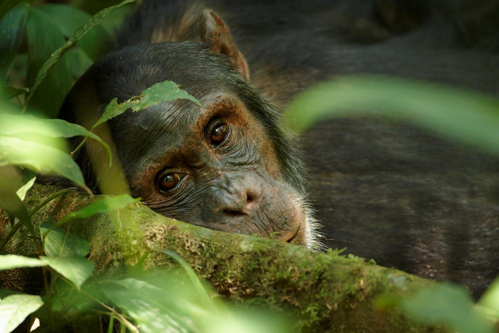 Погребальные обряды шимпанзн