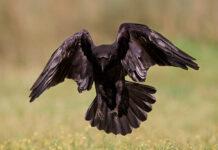 Ворон обыкновенный. Corvus corax