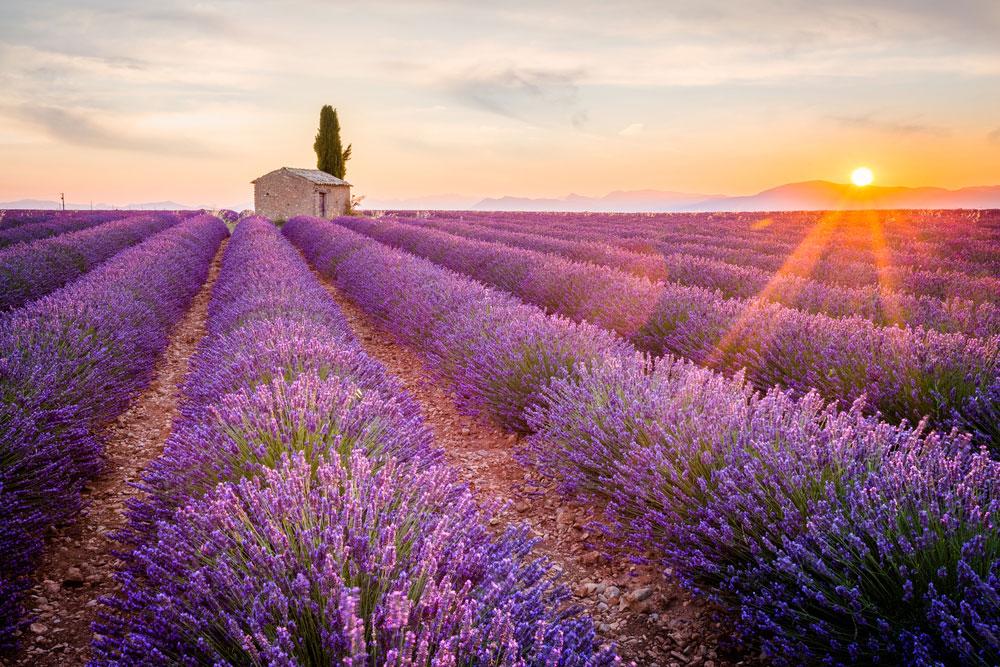 Прованс, лавандовое поле на закате, плато Валансоль