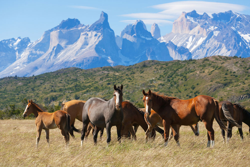 Дикие лошади в национальном парке Торрес-дель-Пайне, Патагония, Чили