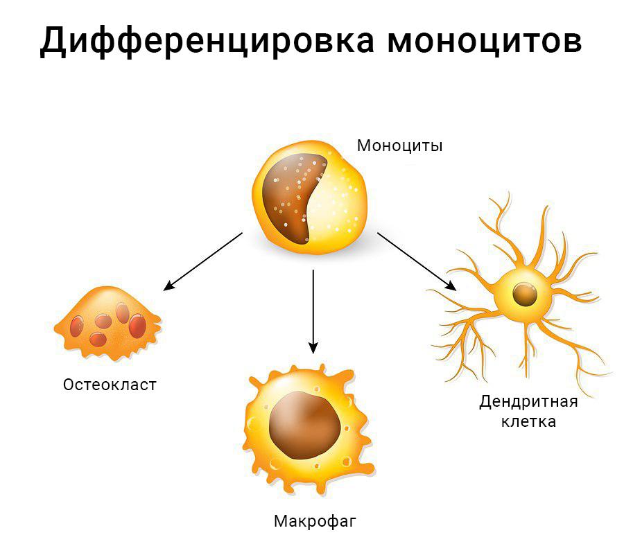 Дифференцировка моноцитов