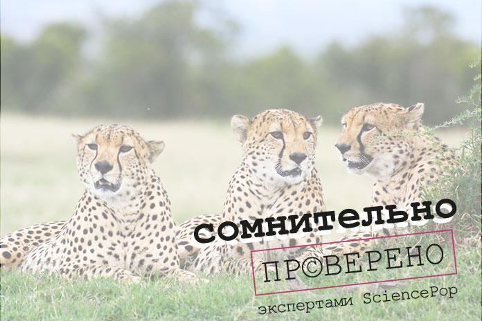 гепарды вымирают