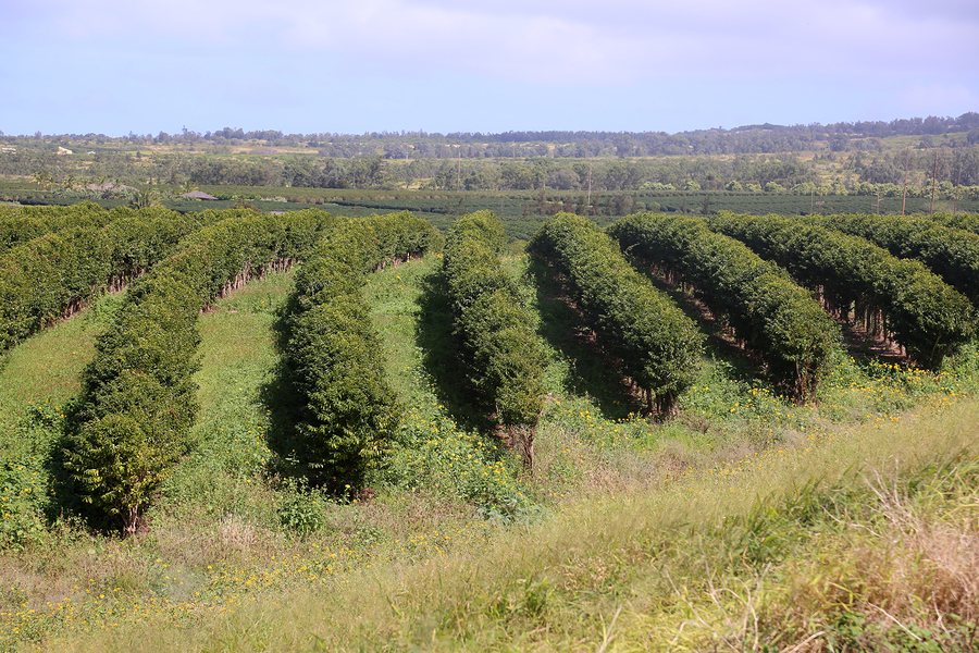 Кофейная плантация на Гавайях. mikeledray / bigstock.com