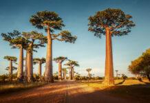 Аллея баобабов, Мадагаскар.