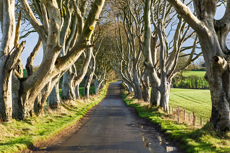 буковая аллея Dark Hedges