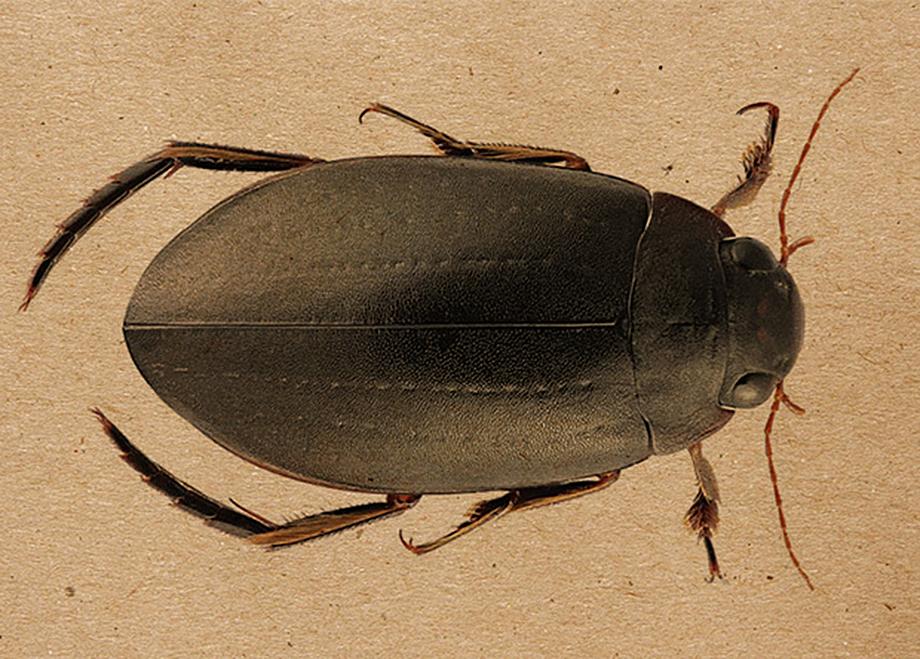 Meladema lepidoptera, жук-плавунец, новый вид