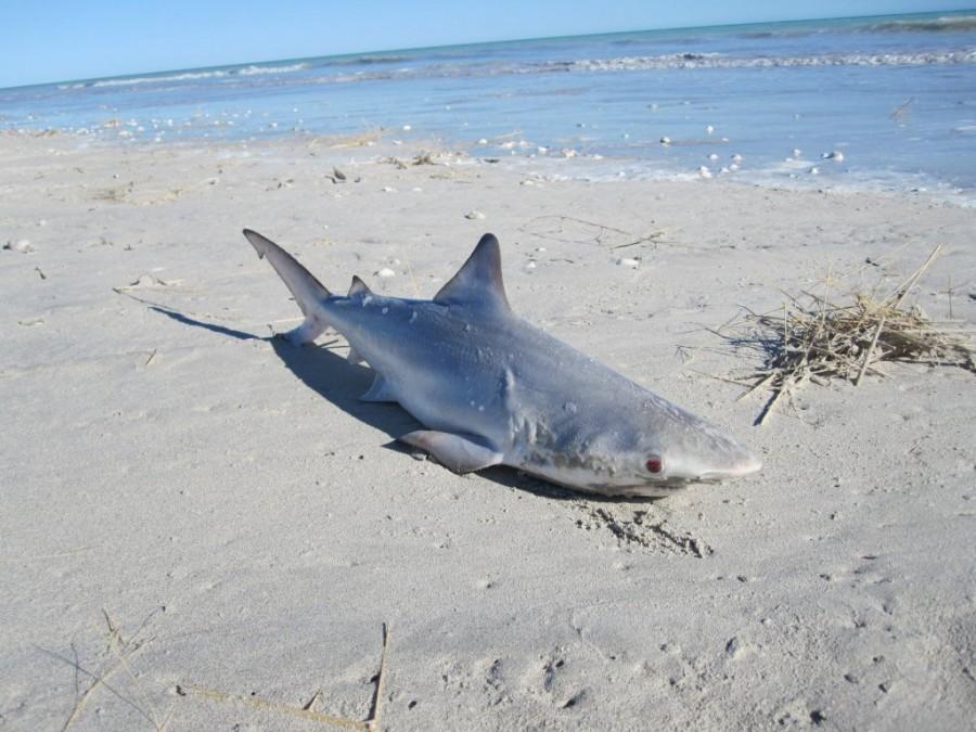 акула, выброшена, берег, мертвая