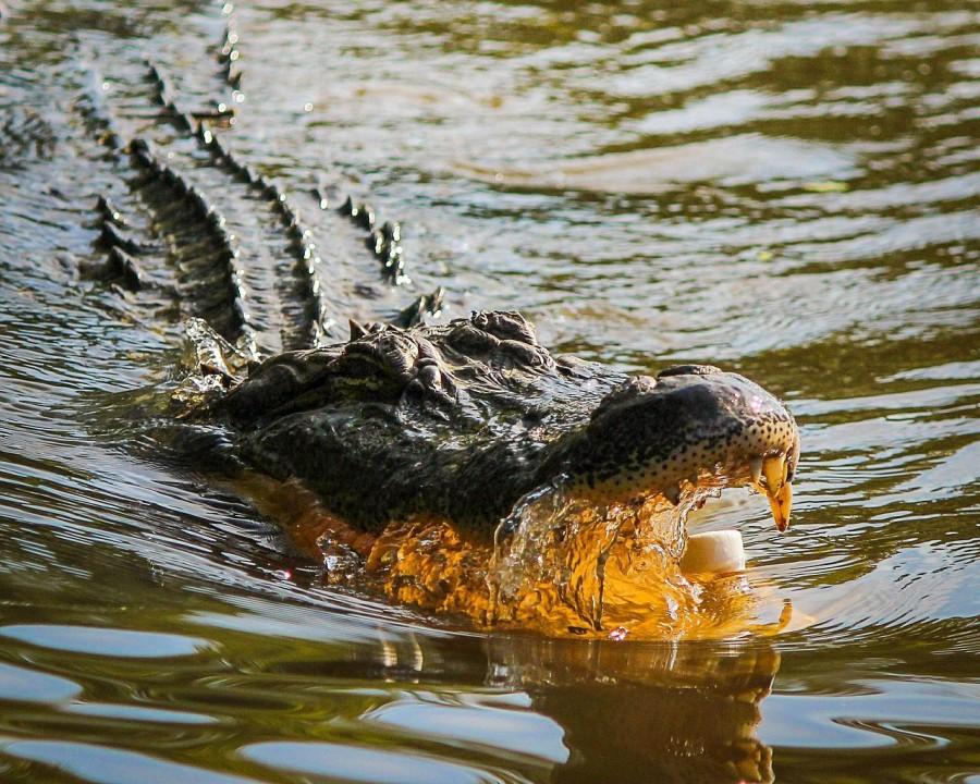 аллигатор