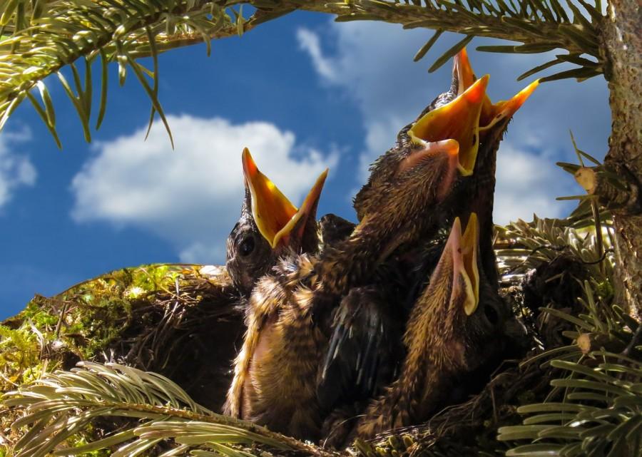 птенцы, голод, писк