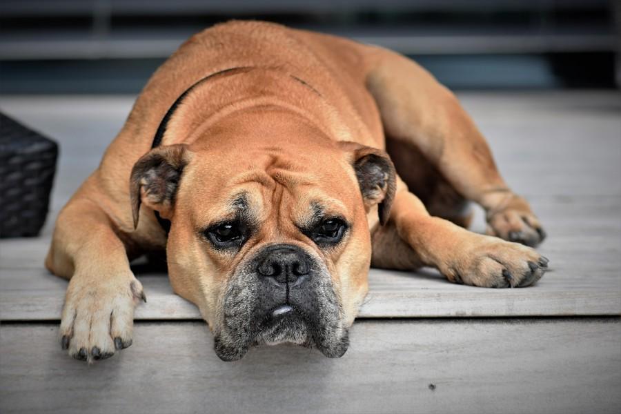 собака, грусть, животное
