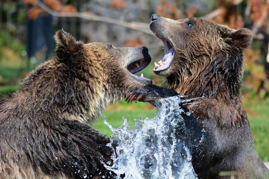 медведи, драка, звери