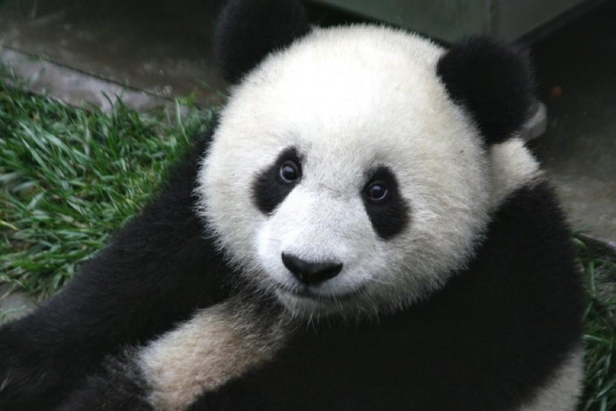панда, медведь, зоопарк