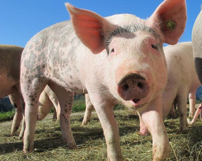 Геном, свинья, ученые