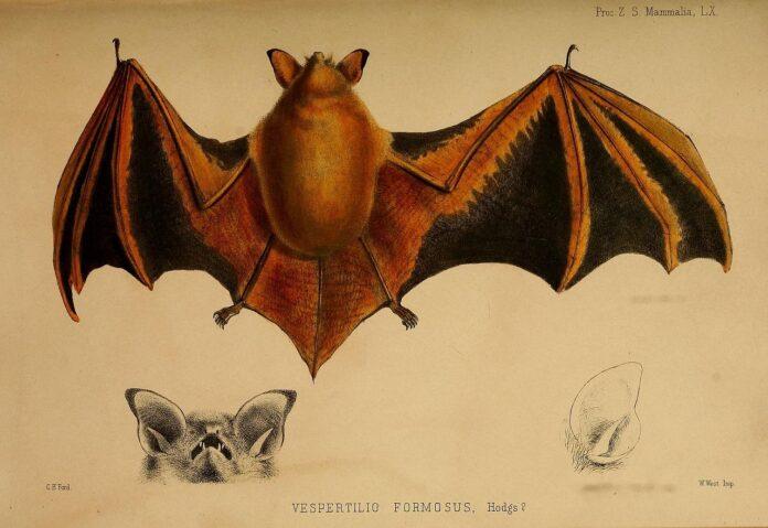 Летучая мышь Myotis Formosus