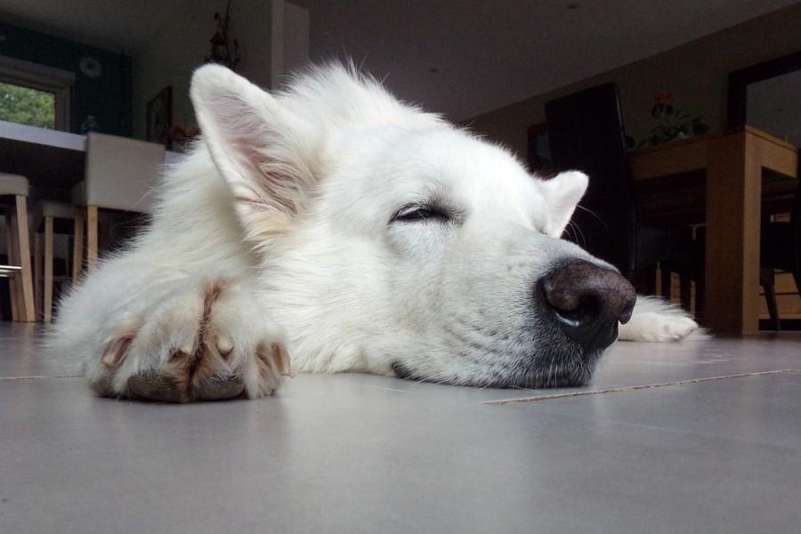 собака, со, овчарка