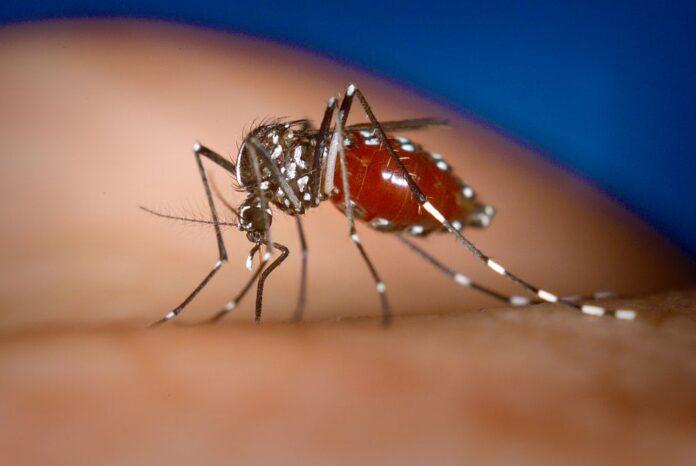 Aedes Albopictus, тигровый комар