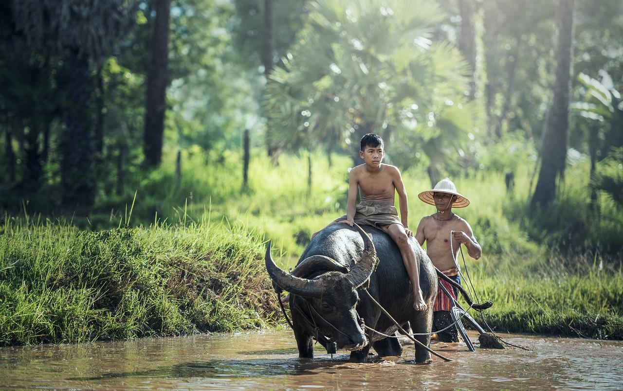буйвол, подросток, ферма, азия
