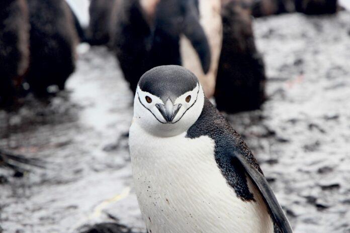 Пингвины используют диалекты