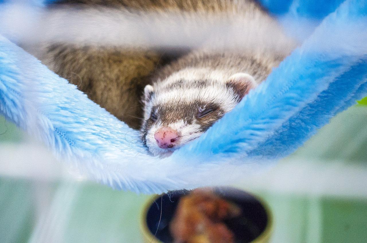 хорек, питомец, спит