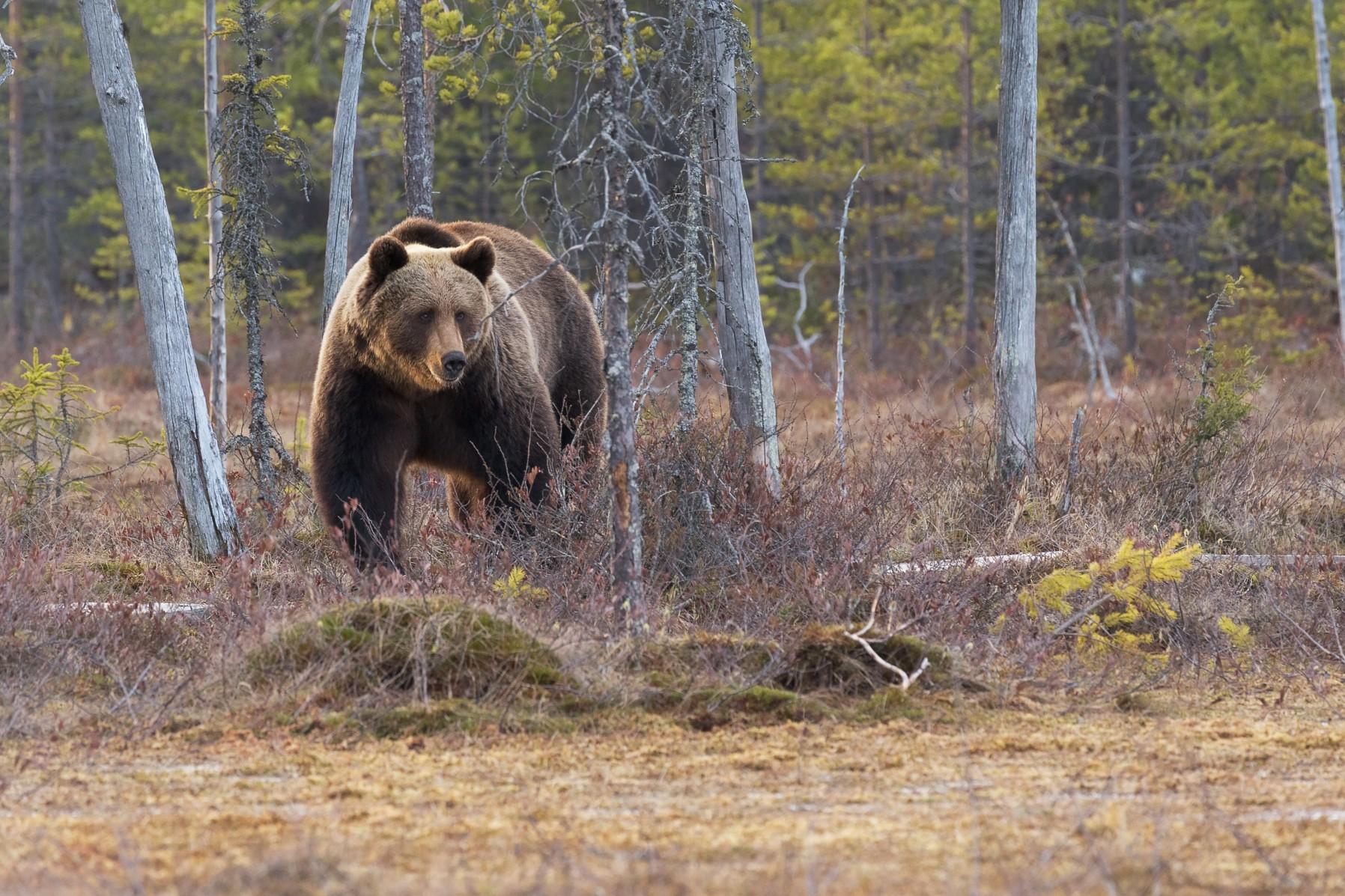 Медведь, йети, снежный человек