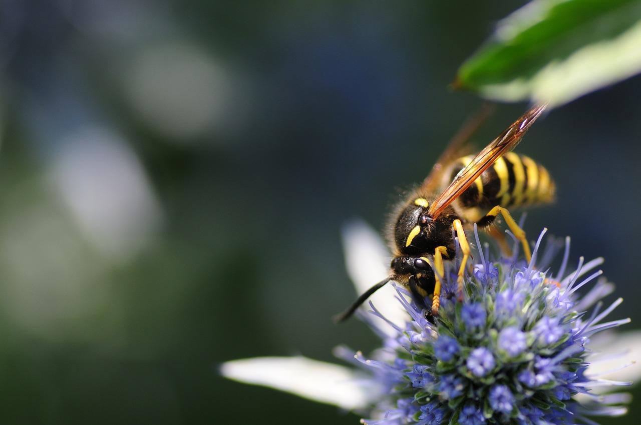 пчела, насекомое, цветок