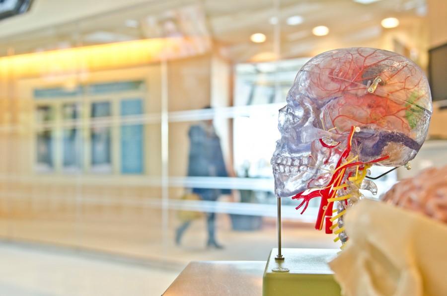 мозг, череп, анатомия