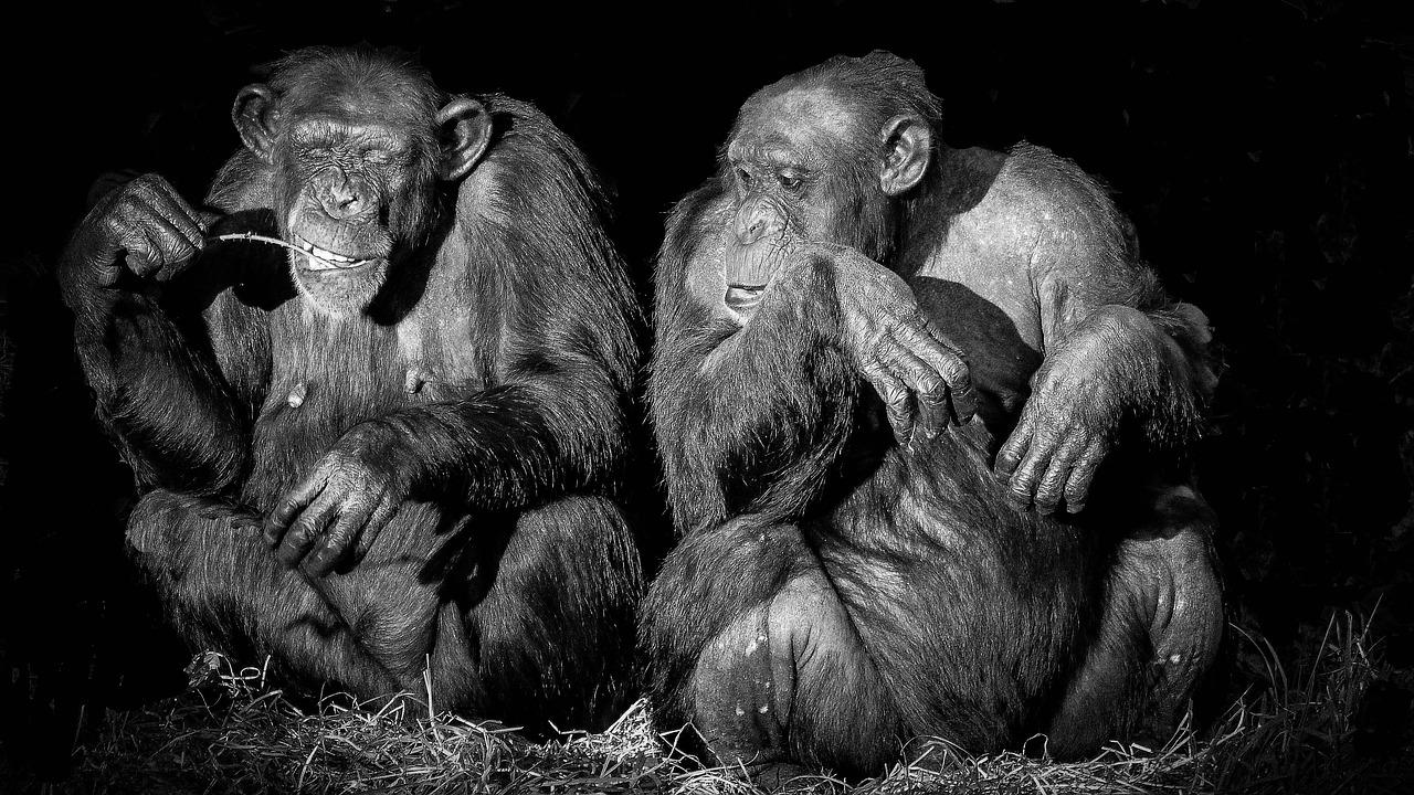 Шимпанзе, коммуникации