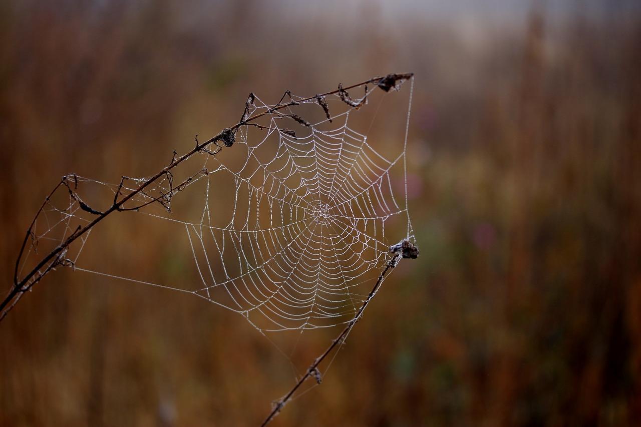 паутина, паук, ветки
