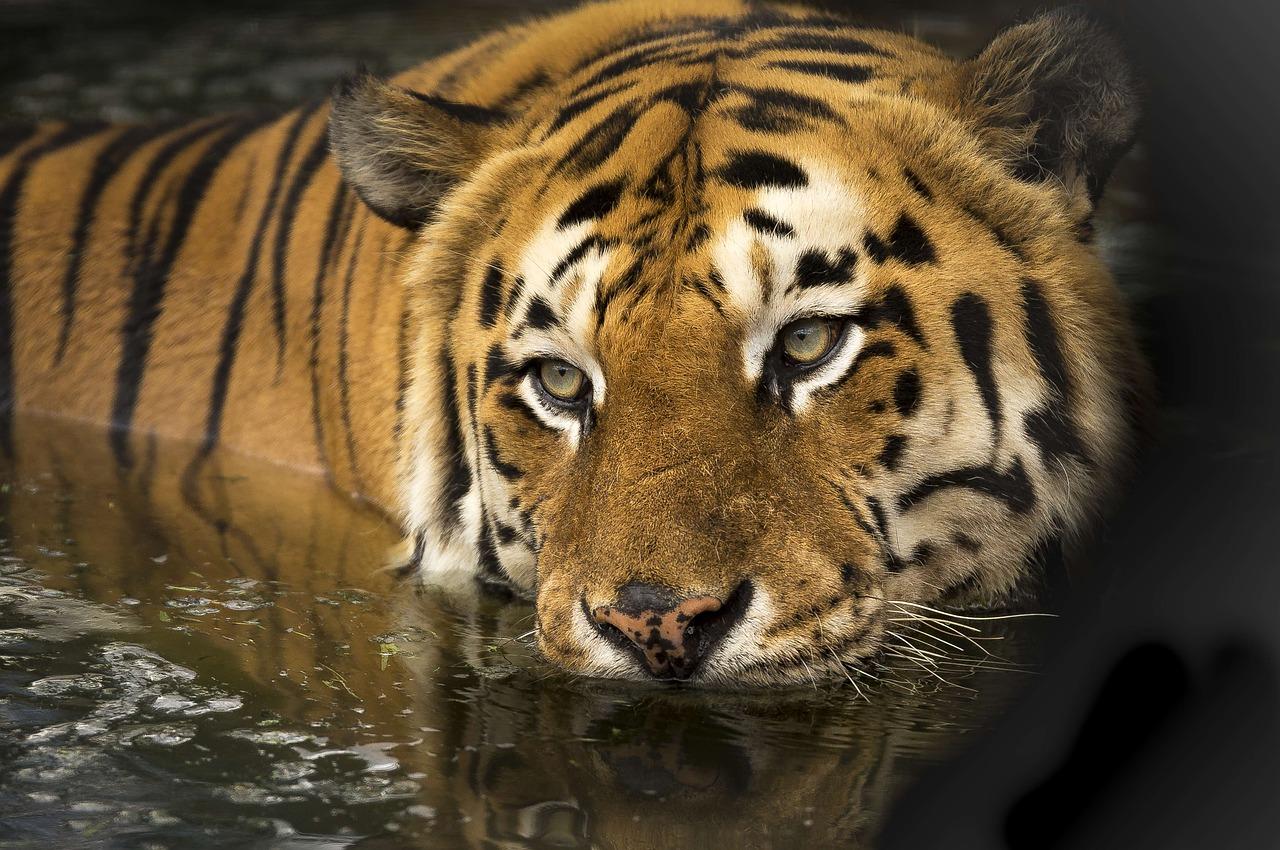 Тигр, животное, вода