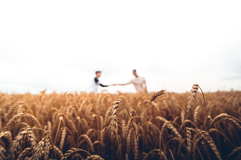 пшеница, поле, люди, помощь