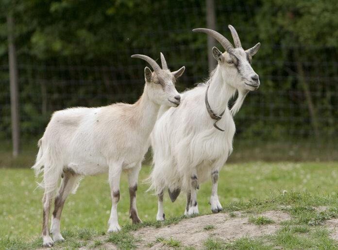 коза, скот, животное