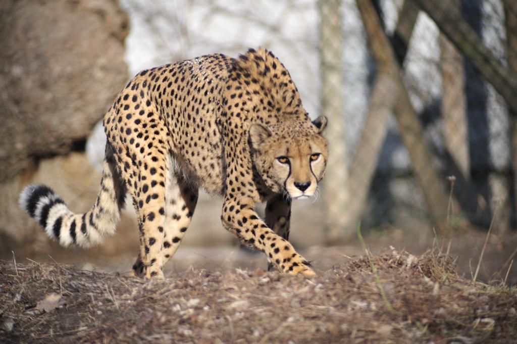 гепард, хищник, кошка
