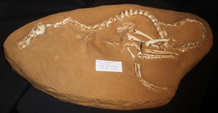 Скелет Halszkaraptor escuilliei
