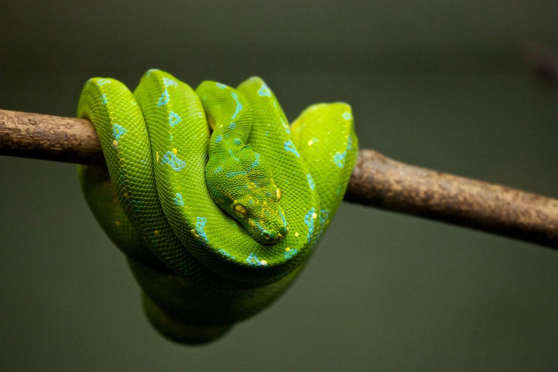 змея, китайский календарь