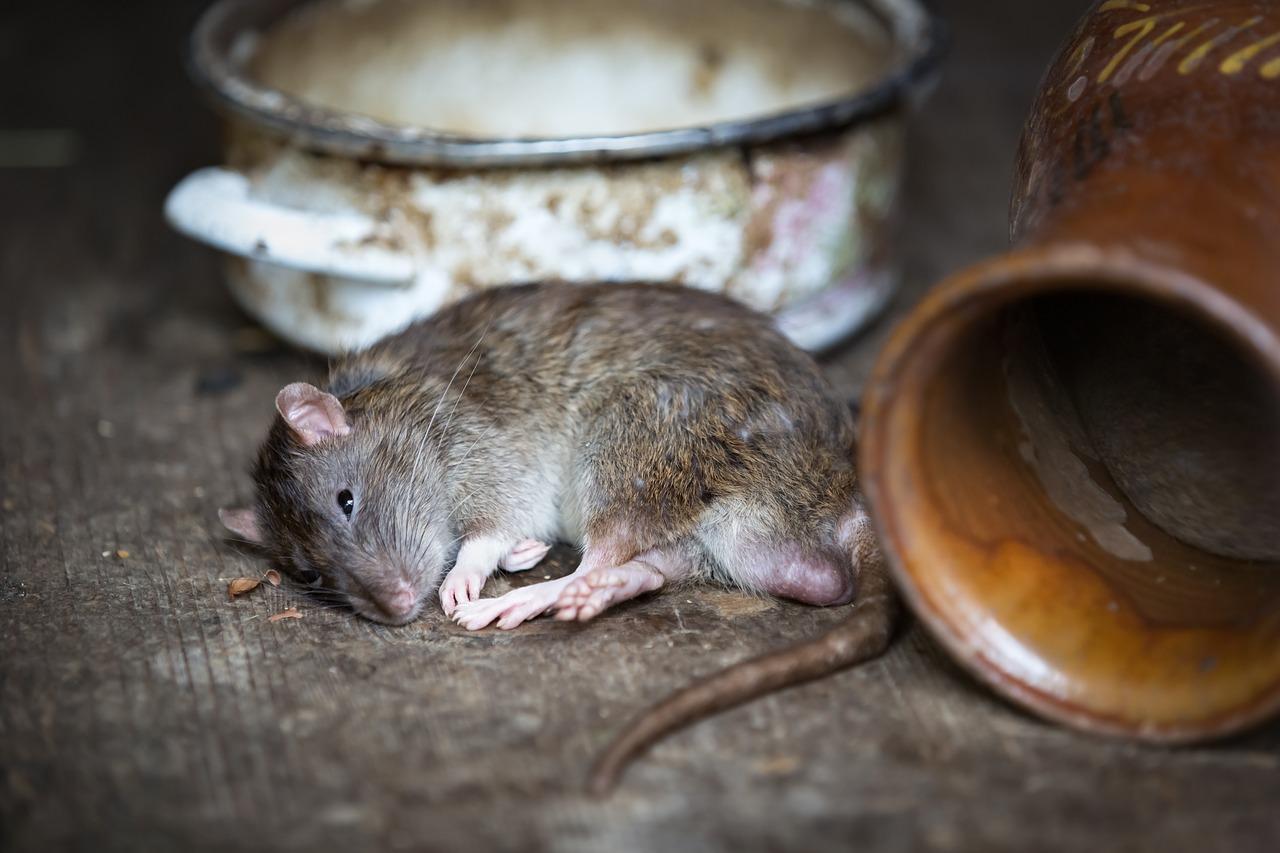 Китайский календарь, крыса