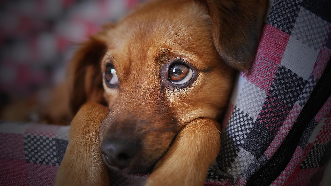 собака, питомец, грустный