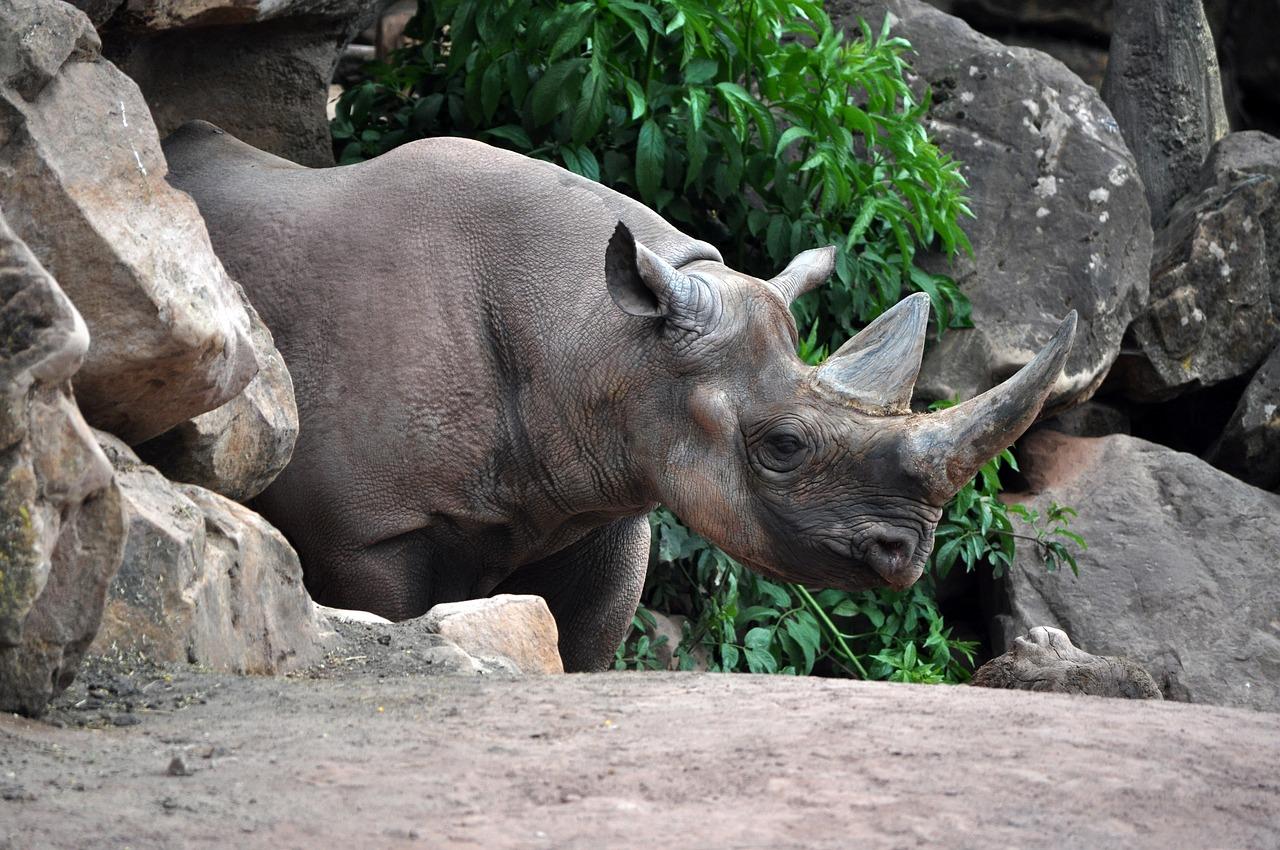 носорог, животное, вымирающий