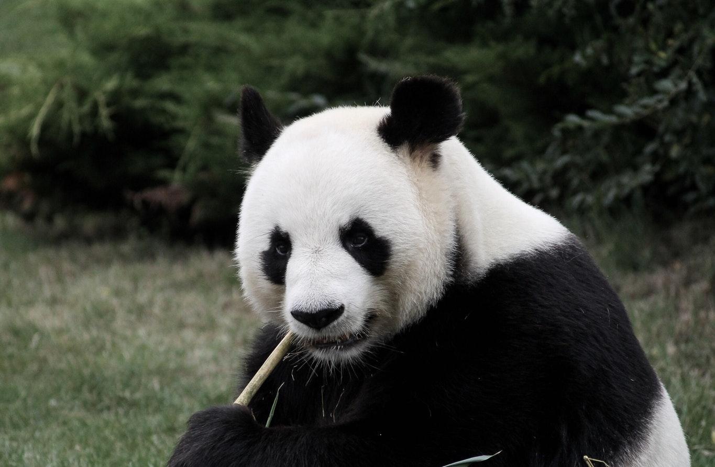 панда, кушает, бамбук