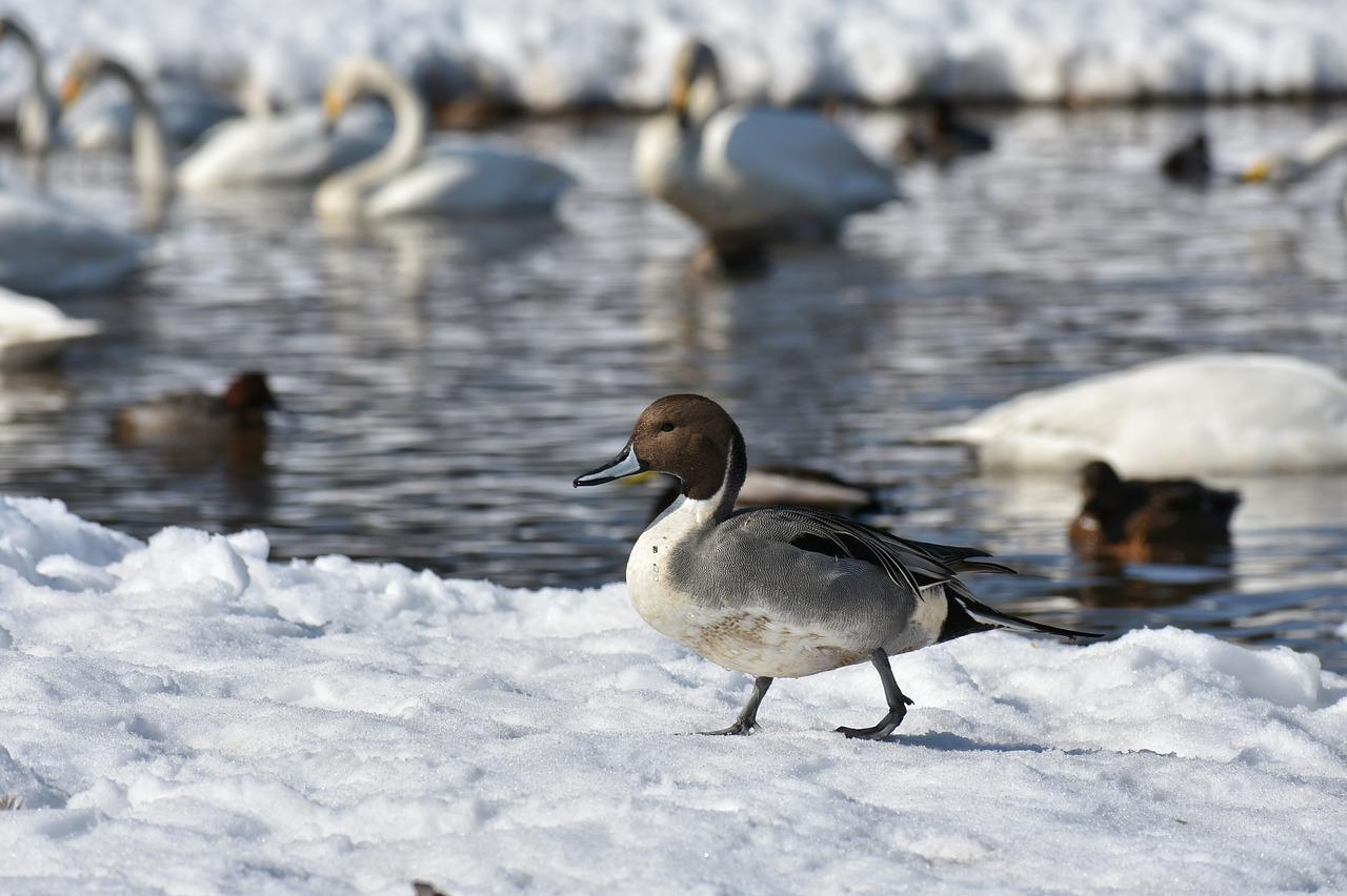 озеро, зима, птицы