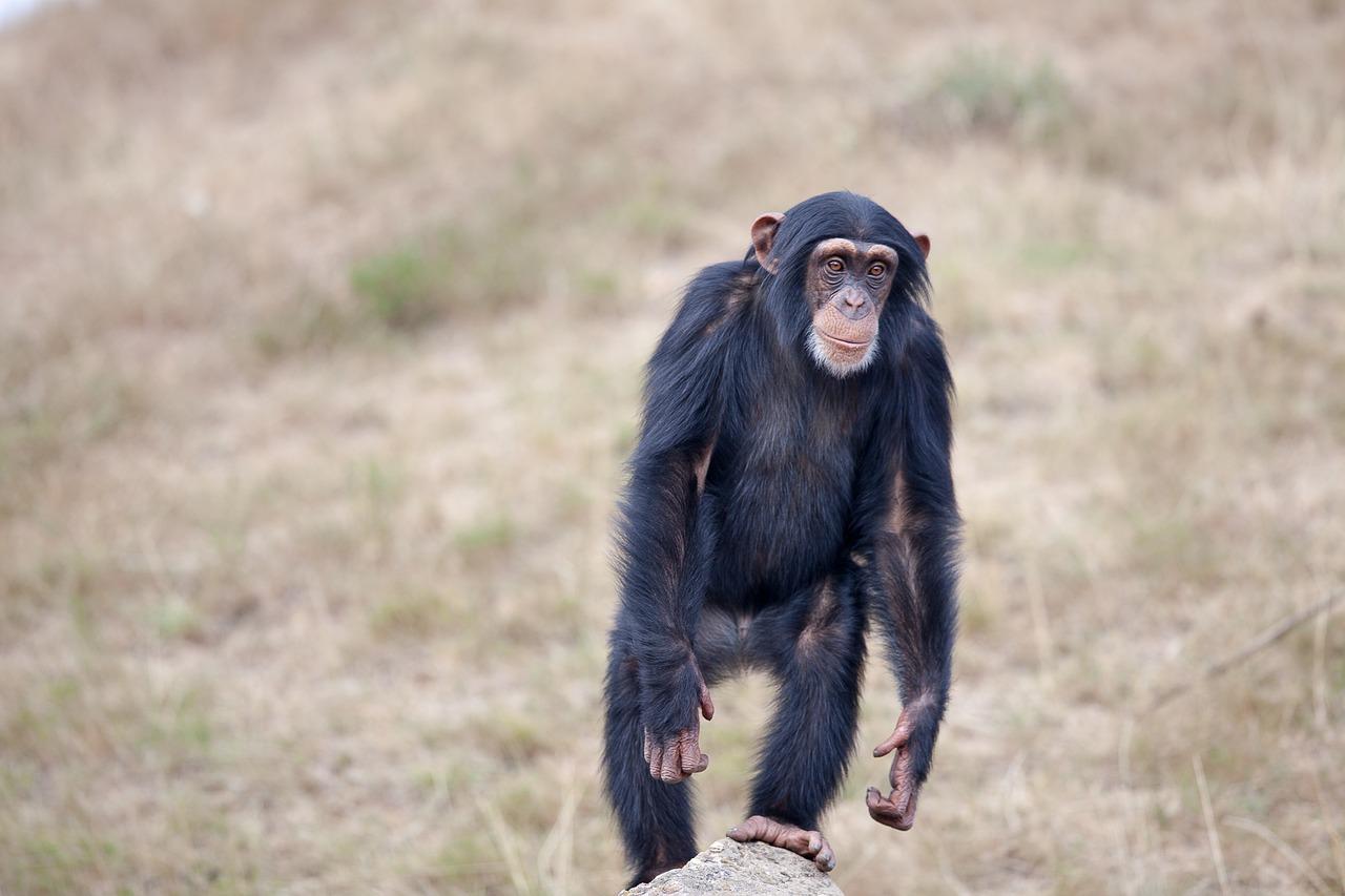 Шимпанзе, обезьяна