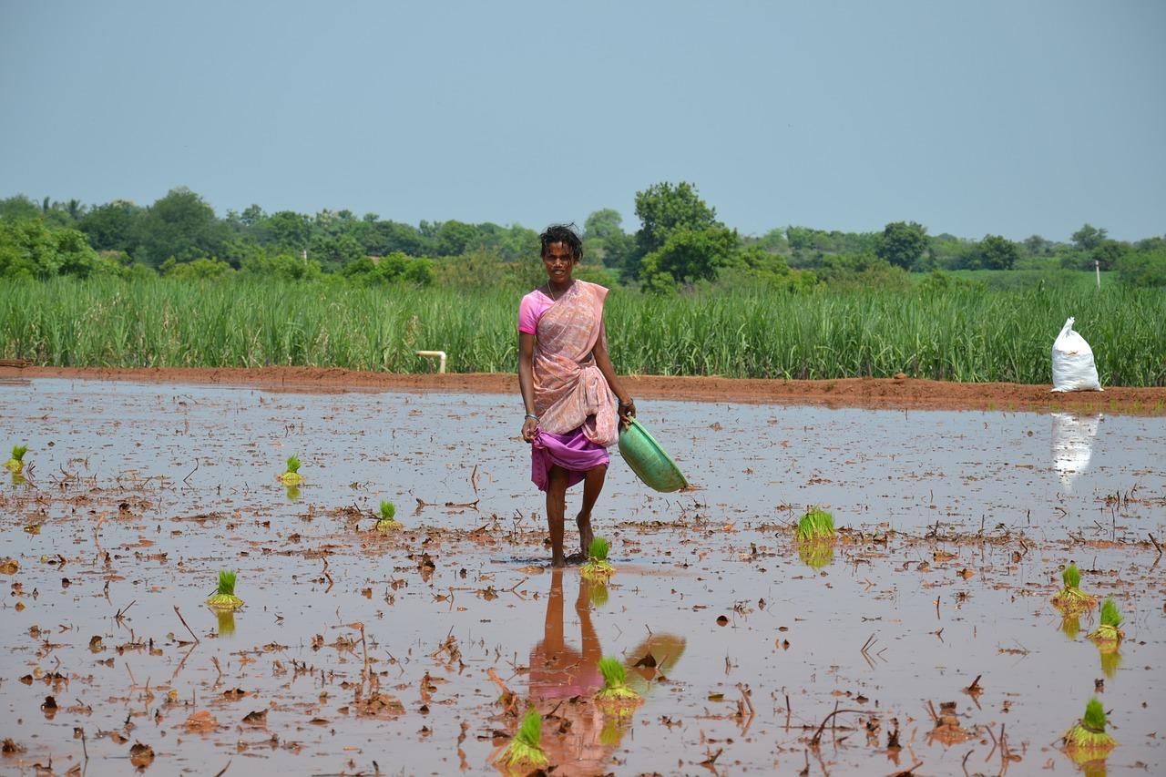 рис, ферма, третий мир