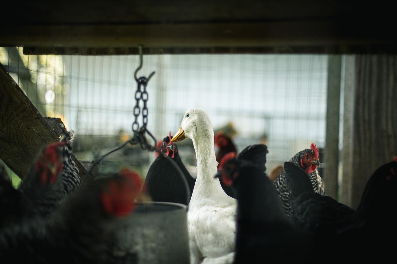 птица, ферма, животноводство