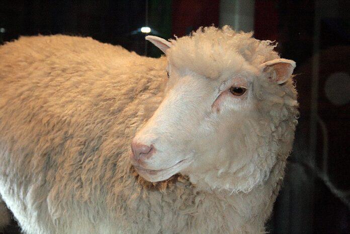 Клонированная овца Долли