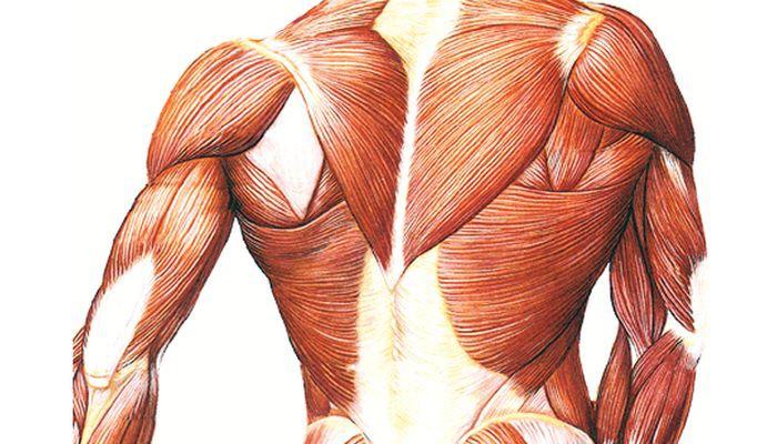 Строение мускулов и мышц