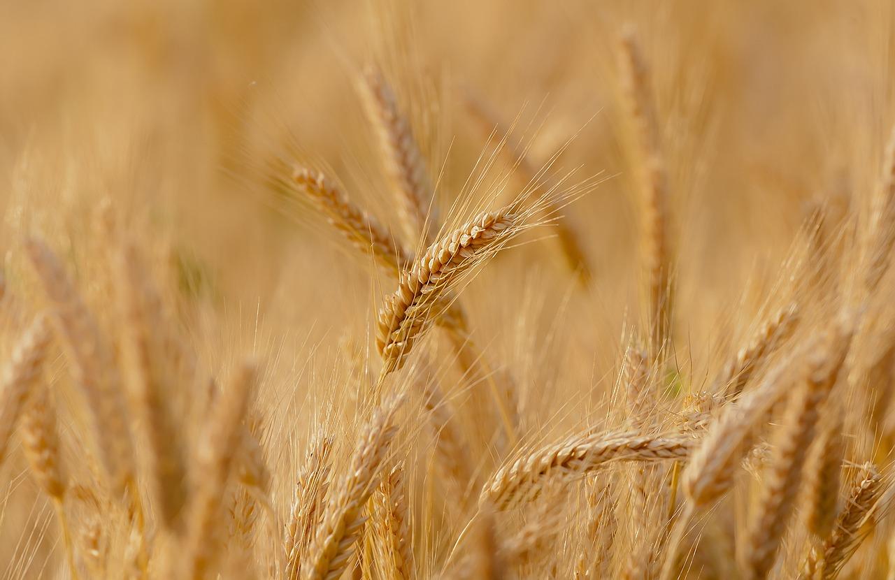 Колосья пшеницы в поле