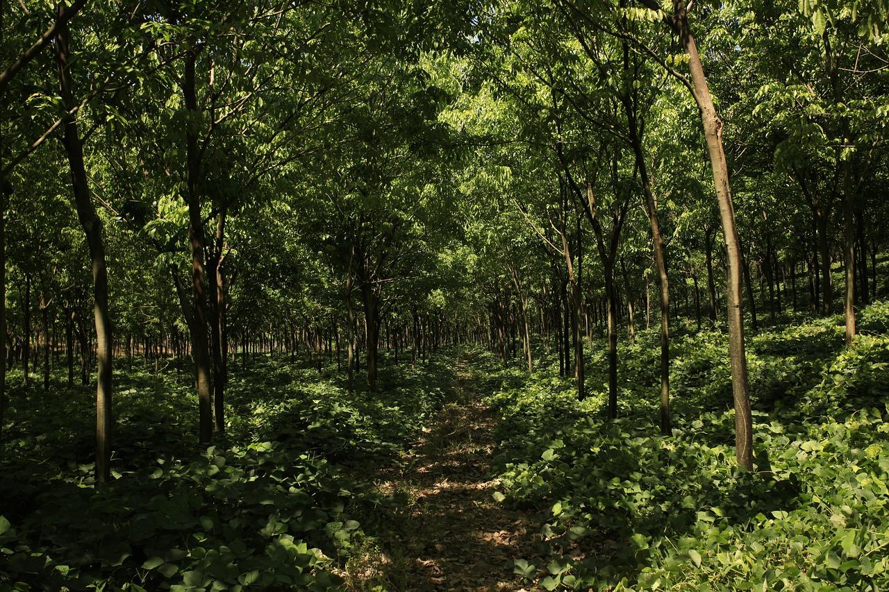 Каучуковый лес